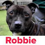 Brindle Staffordshire Bull Terrier looking for a home